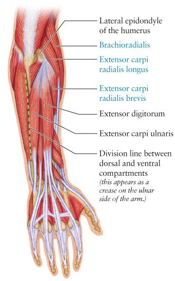 dorsal forearm diagFLAT