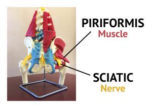 Piriformis Muscle Sciatic Nerve