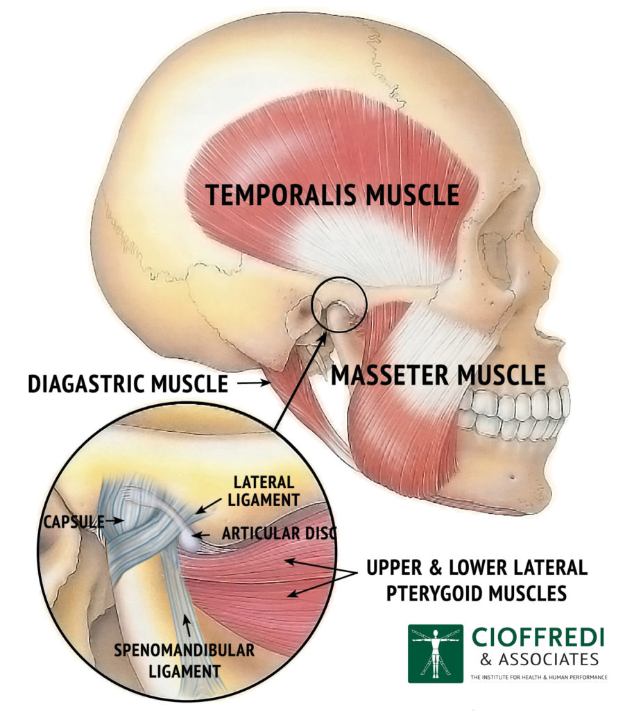 TMJ Anatomy with Musculature Illustration