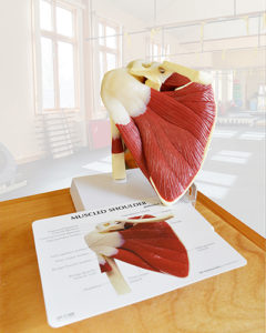 Shoulder Anatomy Model in the Cioffredi PT Clinic